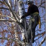Arborist in birch[1]